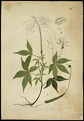 (Cleome spinosa, Wilh)