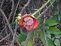 (Couroupita guianensis) at Kakinada Gandhinagar park 16.JPG