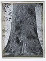 (Portrait of a man standing in front of the trunk of a large Kauri tree) (AM 81475-2).jpg