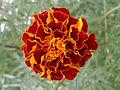 (Tagetes patula) hybrid marigold at Bhadrachalam 04.JPG