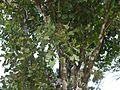 ¿ Helixanthera obtusata ? (14579839935).jpg