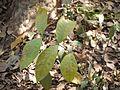 ¿ Parsonsia alboflavescens ? (8460786231).jpg