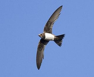 Alpine swift Species of bird