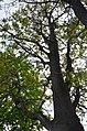 Бундук канадський у Кам'янець-Подільському. Фото 2.jpg