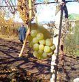 Виноград 3.jpg