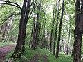 Гермаківське л-во, кв. 11 в. 5, лісове урочище, Гермаківські липи.jpg