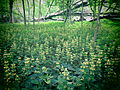 Голосіївський ліс12.JPG