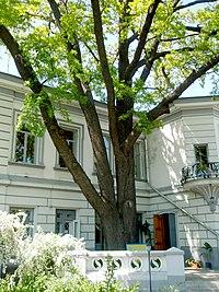 Дуб черешчатий понад 210 років у м. Харкові по вул. Раднаркомівській, 10.JPG