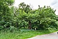 Лісове насадження вікових дубів.jpg