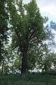 Одеса Дуб Лемме (ботанічна пам'ятка природи).jpg