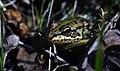 Паркова жаба.jpg