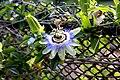Санаторий им. М.В.Фрунзе. Пассифлора голубая (лат. Passíflora caerulea) 1.jpg