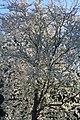 Царникава (Латвия) Цветущая вишня - panoramio.jpg
