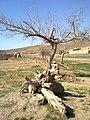 درخت - panoramio.jpg