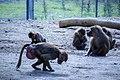 مجموعه عکس از رفتار میمون ها در باغ وحش تفلیس- گرجستان 05.jpg