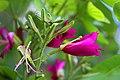 ชงโค Bauhinia purpurea Linn (7).jpg