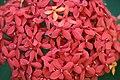 ดอกเข็ม ( Ixora stricta Roxb ) RUBIACEAE (7).jpg