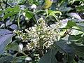 三椏苦(蜜茱萸) Melicope pteleifolia (Evodia lepta) -香港動植物公園 Hong Kong Botanical Garden- (9868754513).jpg