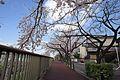 世田谷区 野川・野川緑道 201504021002 - panoramio (1).jpg