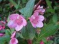 六道木 Abelia x grandiflora -捷克 Krumlov Castle, Czech- (27490763251).jpg