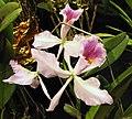 卡特蘭屬 Cattleya jenmanii v coerulea x sib -香港沙田洋蘭展 Shatin Orchid Show, Hong Kong- (30662253764).jpg