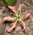 嘉蘭(雞爪蘭) Gloriosa superba -香港公園 Hong Kong Park- (9173505156).jpg