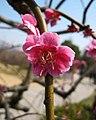 垂枝梅 Armeniaca mume v pendula -南京梅花山 Nanjing, China- (33283656292).jpg