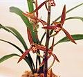 報歲下山 Cymbidium sinense 'From the Hills' -香港大埔蘭花展 Taipo Orchid Show, Hong Kong- (12204800473).jpg