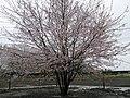 宇宙神代桜.jpg