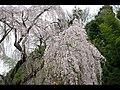 川井家の枝垂れ桜 - panoramio - linbinbin.jpg