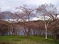 早掛沼公園の桜 - panoramio.jpg