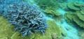 澎湖頭巾嶼藍珊瑚.png