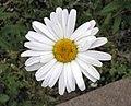 濱菊 Leucanthemum vulgare -哥本哈根大學植物園 Copenhagen University Botanical Garden- (36121245314).jpg