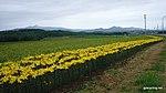 真狩村 - panoramio.jpg