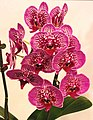 蝴蝶蘭 Phalaenopsis Lioulin Glory -台南國際蘭展 Taiwan International Orchid Show- (39129455340).jpg