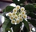 裂瓣毬蘭 Hoya lacunosa -香港公園 Hong Kong Park- (9240258108).jpg