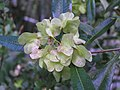 車桑子(坡柳) Dodonaea viscosa -阿姆斯特丹植物園 Hortus Botanicus, Amsterdam- (9219890731).jpg