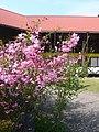 道の駅吉野路黒滝にて ハナカイドウ(花海棠) Hall's crabapple 2011.4.26 - panoramio.jpg