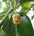 野柿 Diospyros kaki v sylvestris -杭州植物園 Hangzhou Botanical Garden, China- (17819180868).jpg