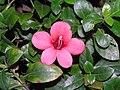 長紅假杜鵑 Barleria repens -香港動植物公園 Hong Kong Botanical Garden- (9207641366).jpg