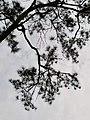黑松 Pinus thunbergii 20211007185113 12.jpg