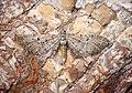 -1827- Freyer's Pug (Eupithecia intricata) (43126698041).jpg