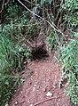 -2020-06-10 Badgers set, footpath in the parish of Knapton, Norfolk.JPG