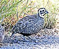 072 - MONTEZUMA QUAIL (11-13-2015) harshaw road, santa cruz co, az -03 male (22575218277).jpg