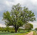 072 2015 05 25 Speierling südlich von Meckenheim (Wiki Loves Earth 2015).jpg
