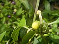0998Ornamental plants in the Philippines 36.jpg