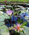 1.Flores en la Laguna Venezuela, Jardín Botanico de la UCV, Caracas, Venezuela.jpg