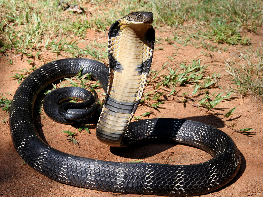 12 - The Mystical King Cobra and Coffee Forests