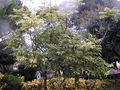200410 Castanospermum australe.JPG