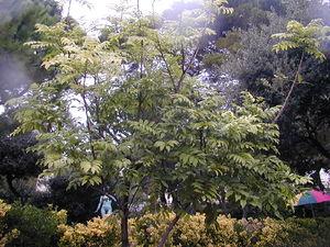 Castanospermum - Image: 200410 Castanospermum australe